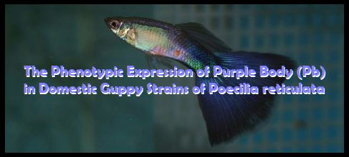 The Phenotypic Expression of Purple Body (Pb)
