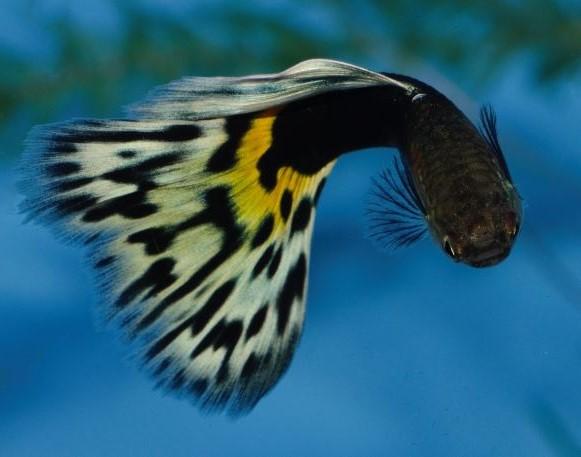 Polu Crna Leopard gupika