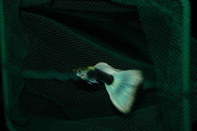 Polu Crna Pastelno Bijela gupika