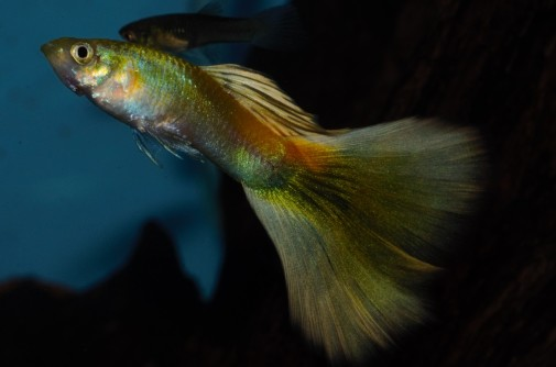 Yellow Moscow guppy
