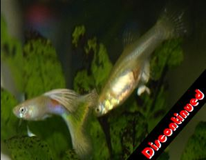 Blond Moscow guppies for sale