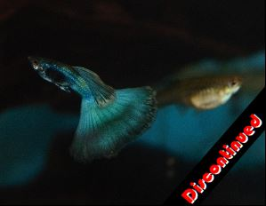 Blue Green Moscow guppies for sale