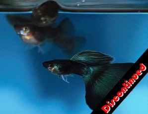 Dark Green Moscow guppies for sale