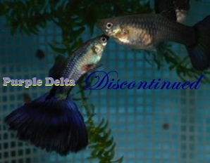 Purple Delta guppies for sale