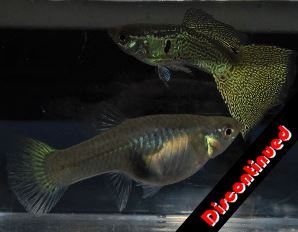 Variegated Green Snake Skin guppies for sale
