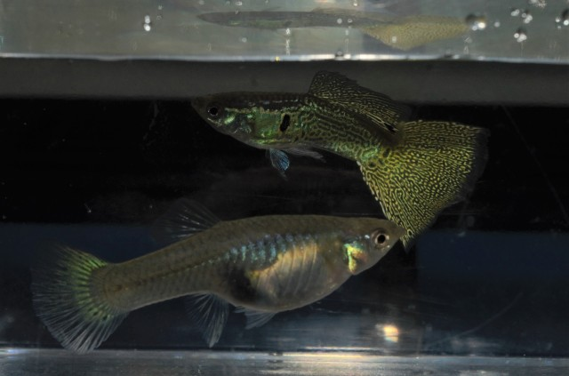 varigated snake skin guppies for sale