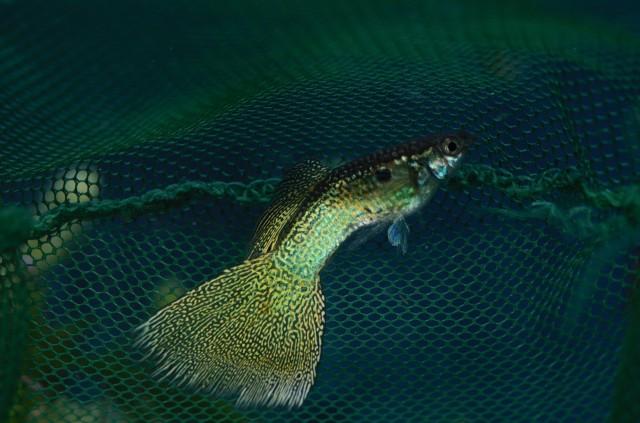 Guppy Culls Variegated Snake Skin