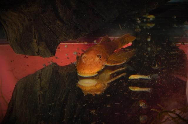 Cistaci u akvarijumu