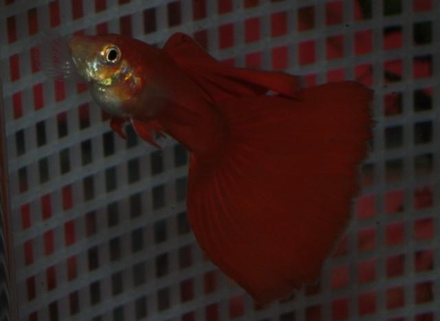 American Red Delta male