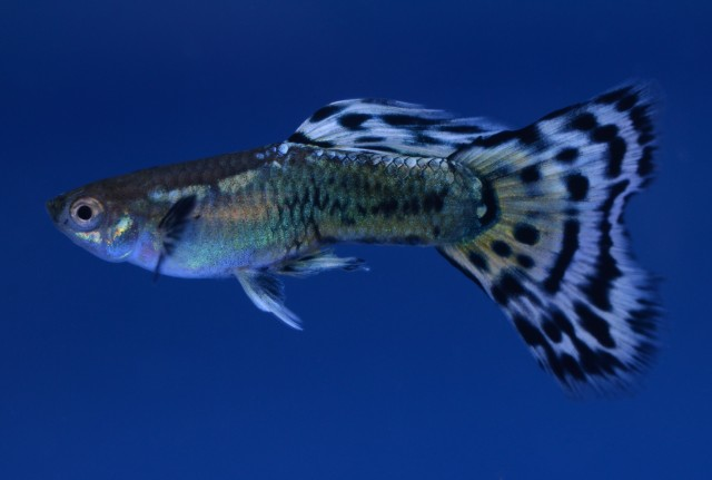 Mosaic guppy guppies