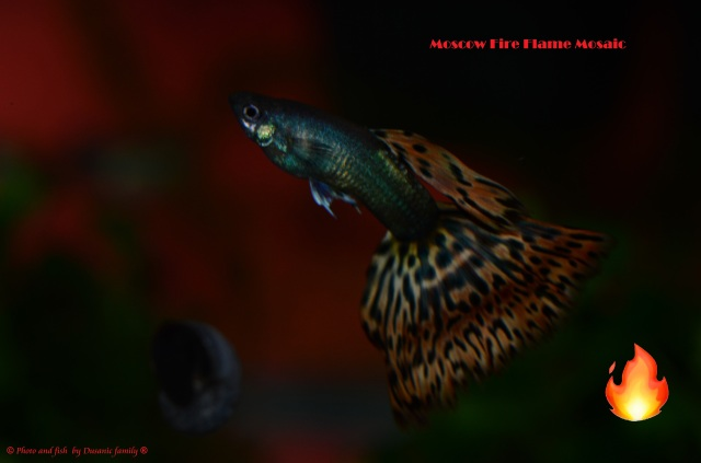 Moscow Fire Flame Mosaic guppy guppies