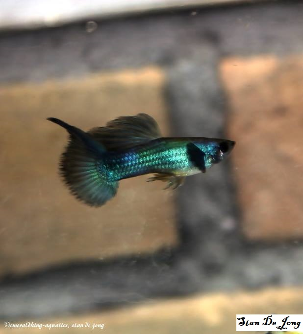 Moscow Top Swordtail guppy