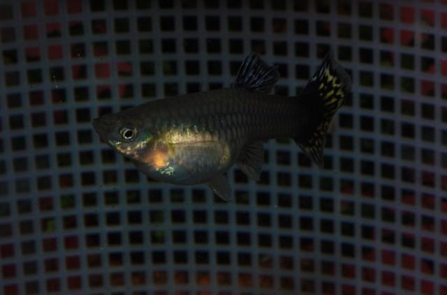 Our Mosaic female guppy gupi guppies gupike
