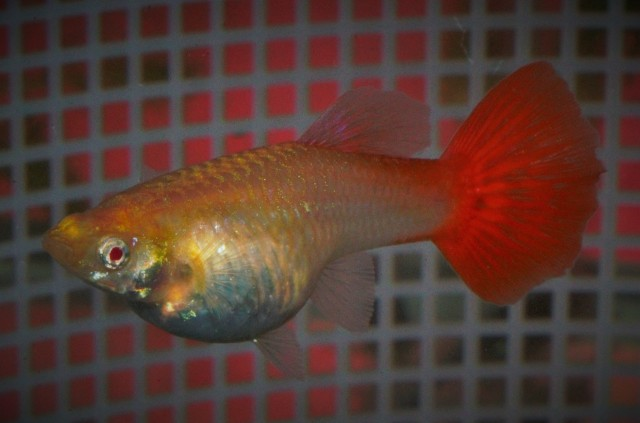 Red Albino Female
