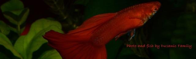Red Albino guppy guppies gupi gupika