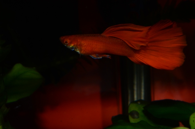 Red Albino in to Mosaic guppy cross