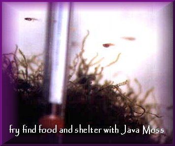 Guppy fry and Java moss