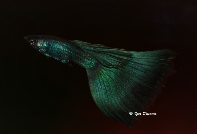 Green Moscow guppy by Dusanic's family