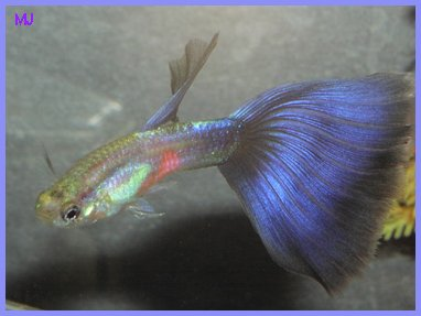 Purple guppy by Mary Jane