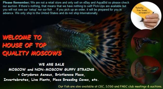House of top quality Moscow guppy guppies