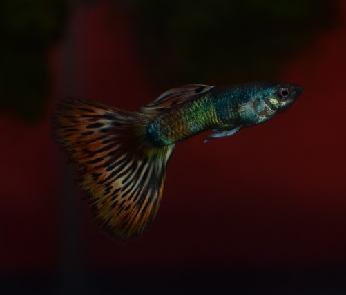 Moscow Red Mosaic guppy