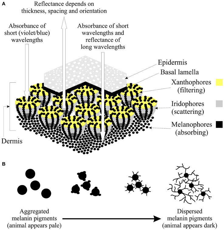 The structure and function of chromatophores A Illustration of a section of skin