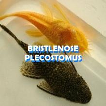 Bristlenose Plecostomus for sale