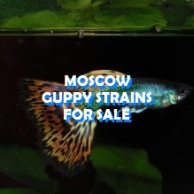 Moscow guppies for sale